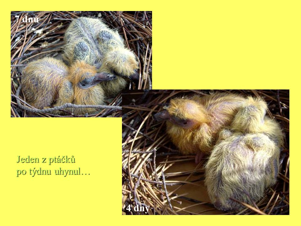 7 dnů Jeden z ptáčků po týdnu uhynul… 4 dny