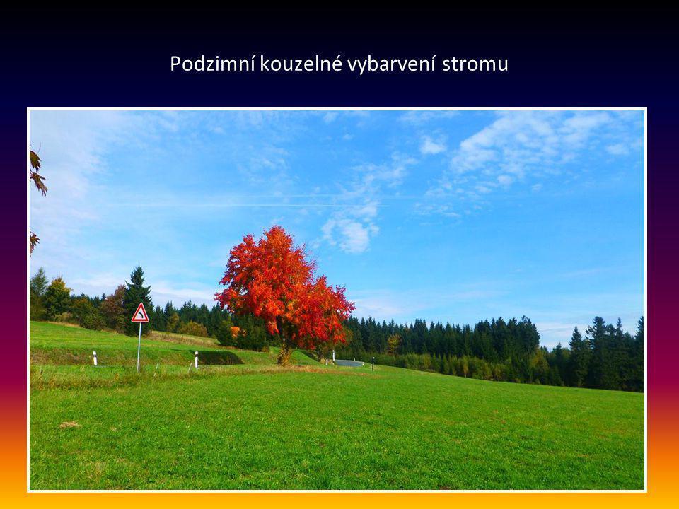 Podzimní kouzelné vybarvení stromu