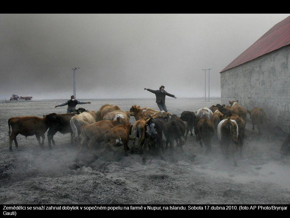 Zemědělci se snaží zahnat dobytek v sopečném popelu na farmě v Nupur, na Islandu.