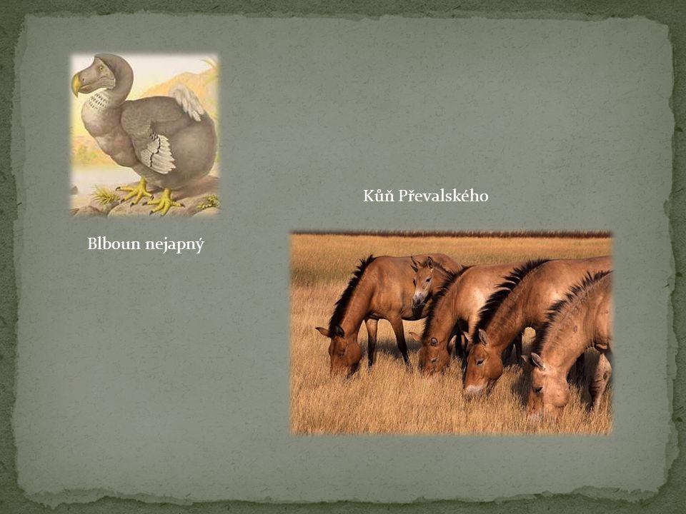 Kůň Převalského Blboun nejapný