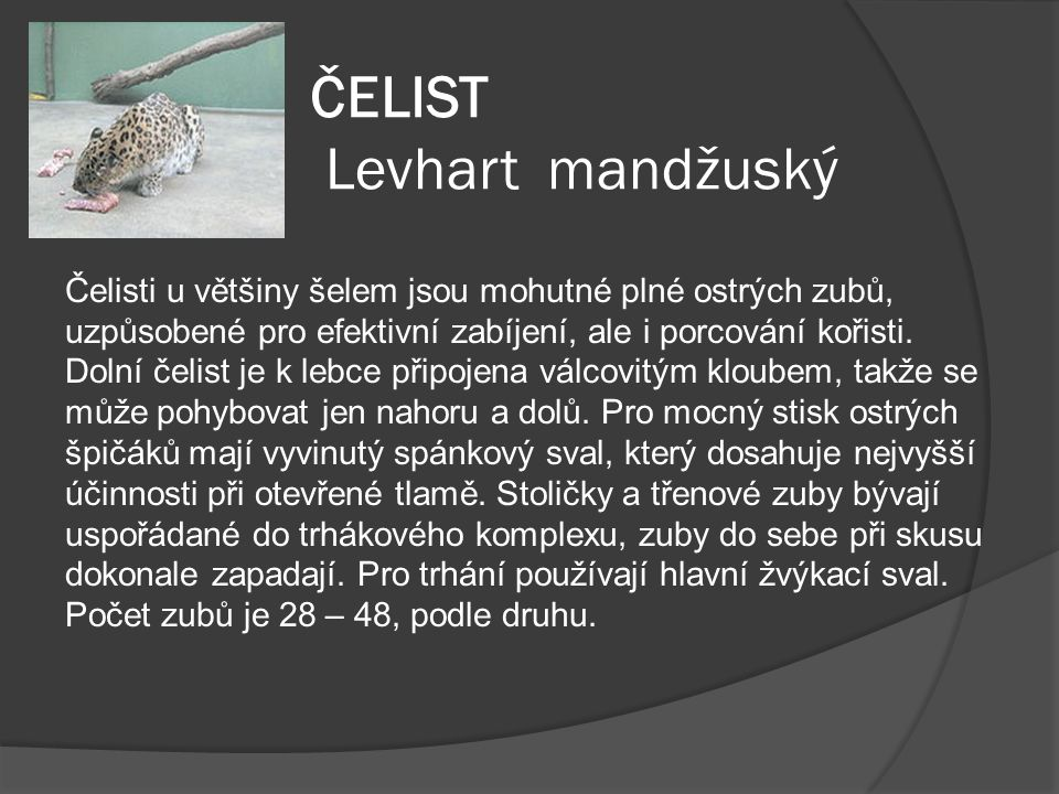 ČELIST Levhart mandžuský