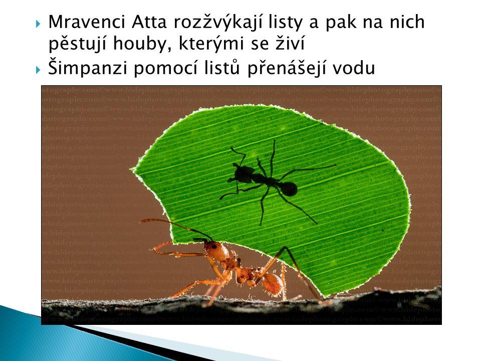 Mravenci Atta rozžvýkají listy a pak na nich pěstují houby, kterými se živí