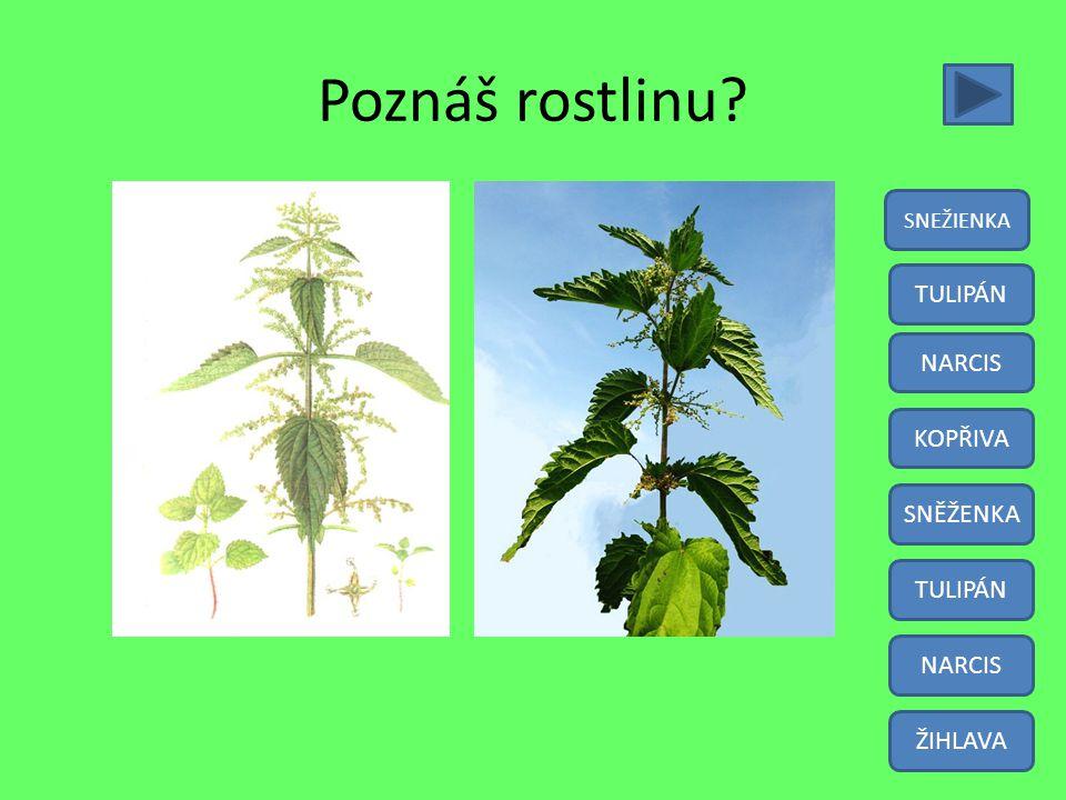 Poznáš rostlinu TULIPÁN NARCIS KOPŘIVA SNĚŽENKA TULIPÁN NARCIS