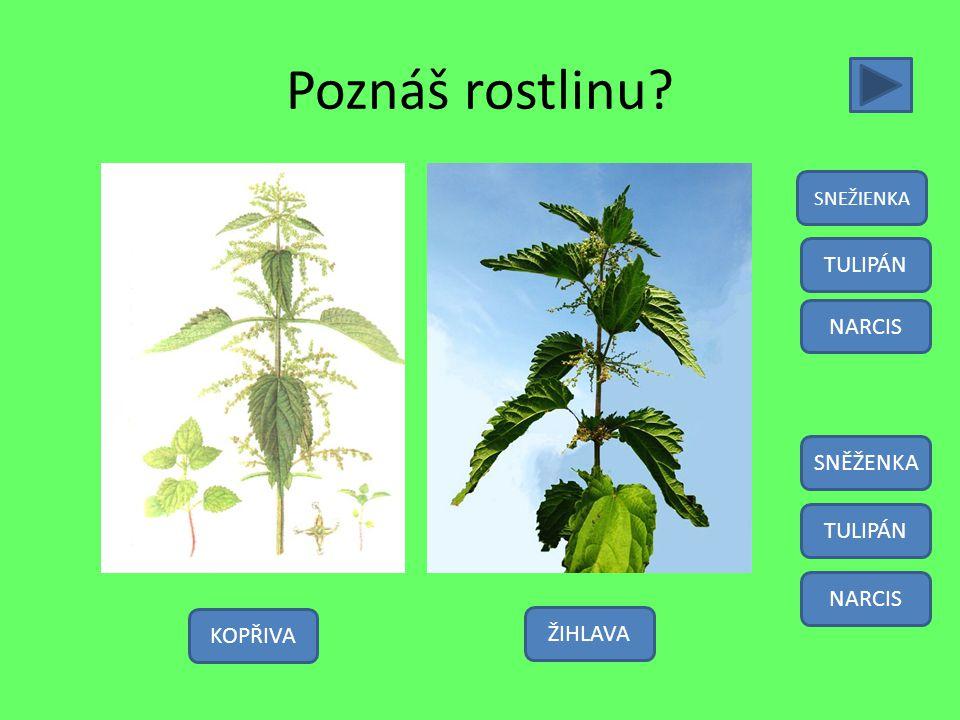 Poznáš rostlinu TULIPÁN NARCIS SNĚŽENKA TULIPÁN NARCIS KOPŘIVA