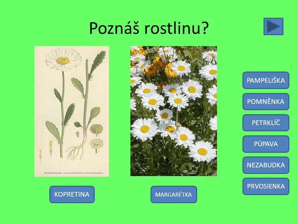 Poznáš rostlinu PAMPELIŠKA POMNĚNKA PETRKLÍČ PÚPAVA NEZABUDKA