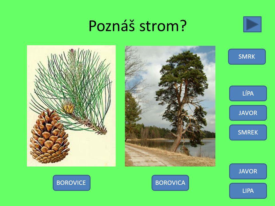 Poznáš strom SMRK LÍPA JAVOR SMREK JAVOR BOROVICE BOROVICA LIPA