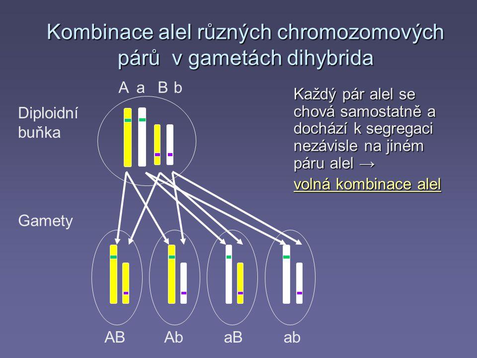 Kombinace alel různých chromozomových párů v gametách dihybrida