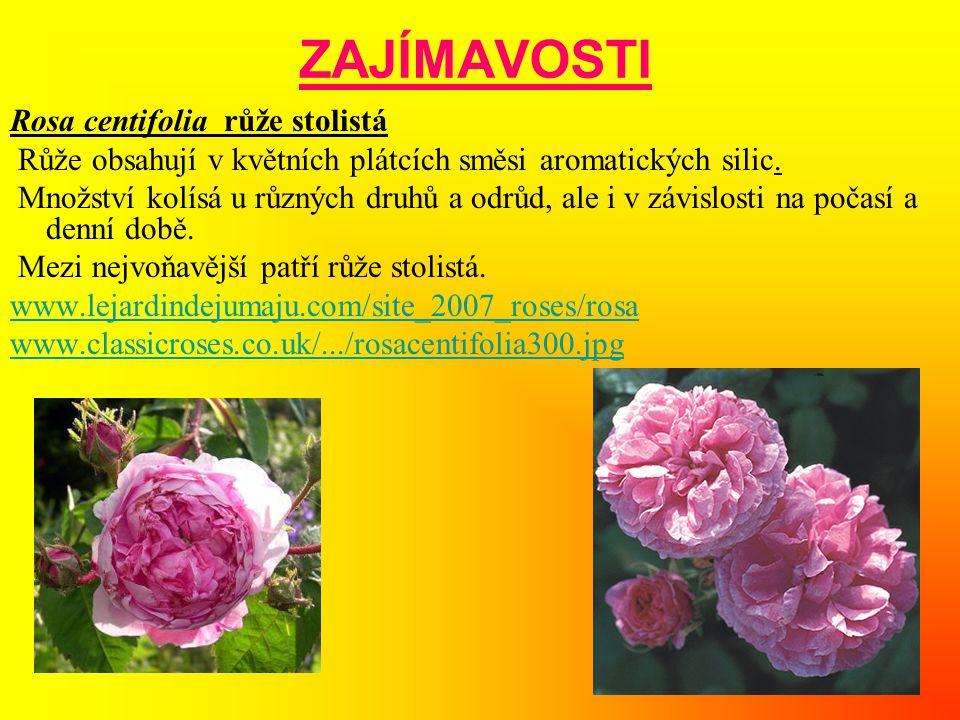 ZAJÍMAVOSTI Rosa centifolia růže stolistá