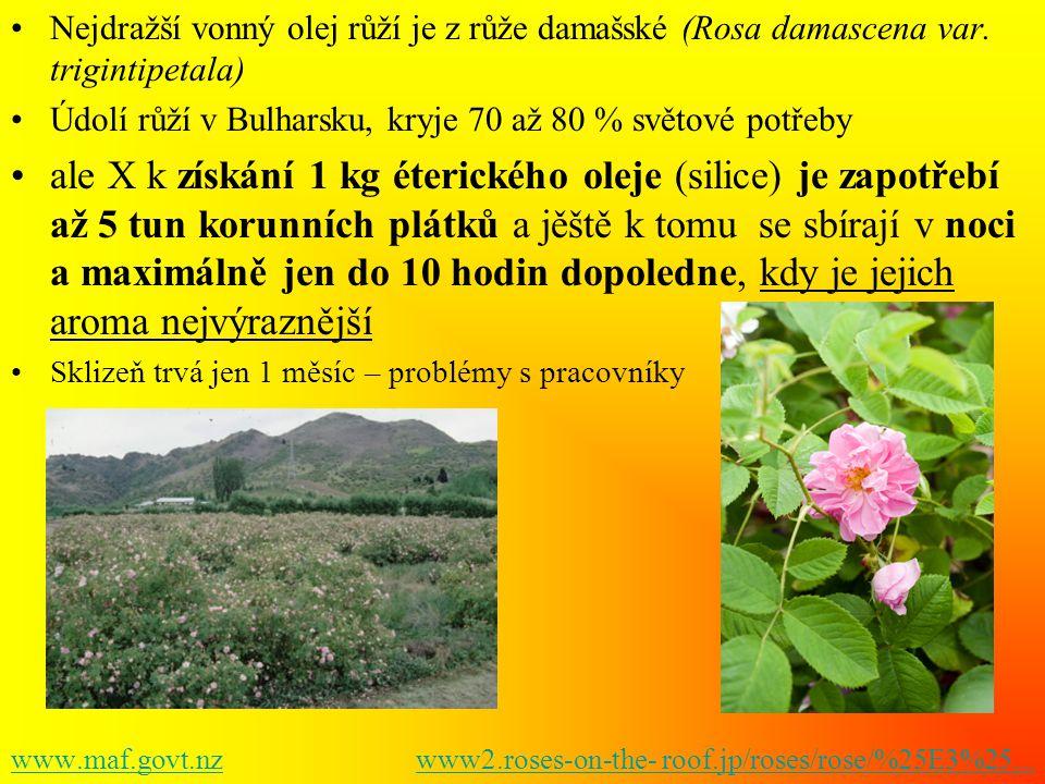Nejdražší vonný olej růží je z růže damašské (Rosa damascena var