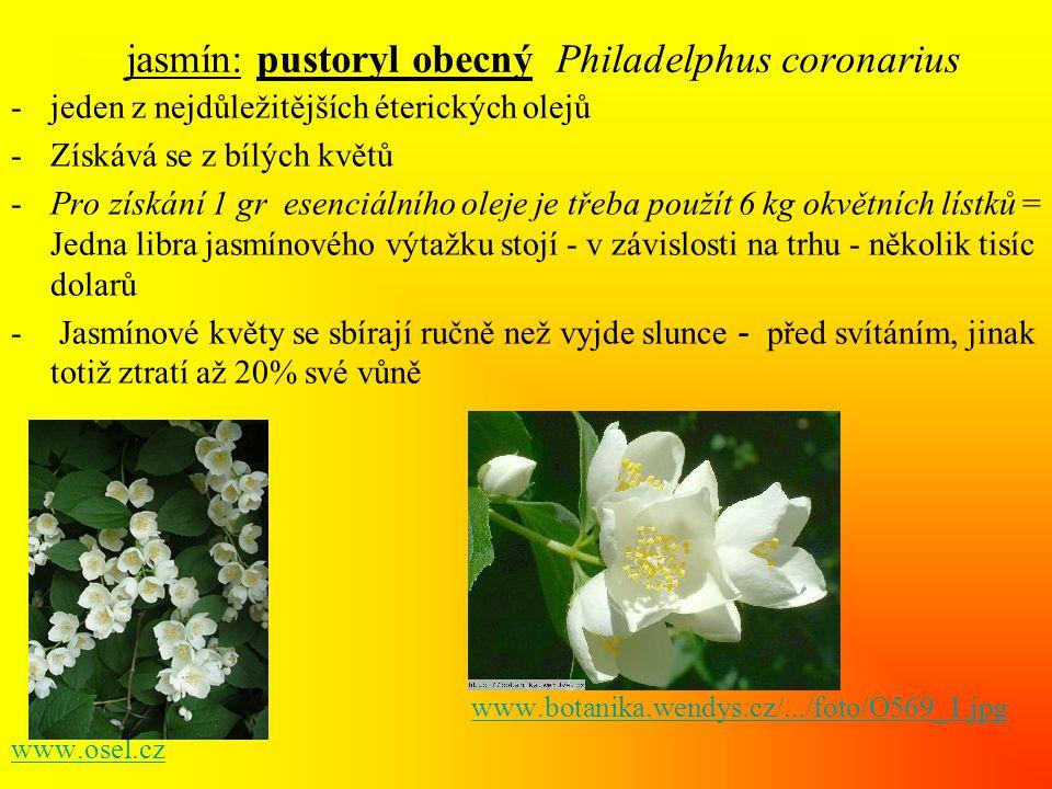 jasmín: pustoryl obecný Philadelphus coronarius