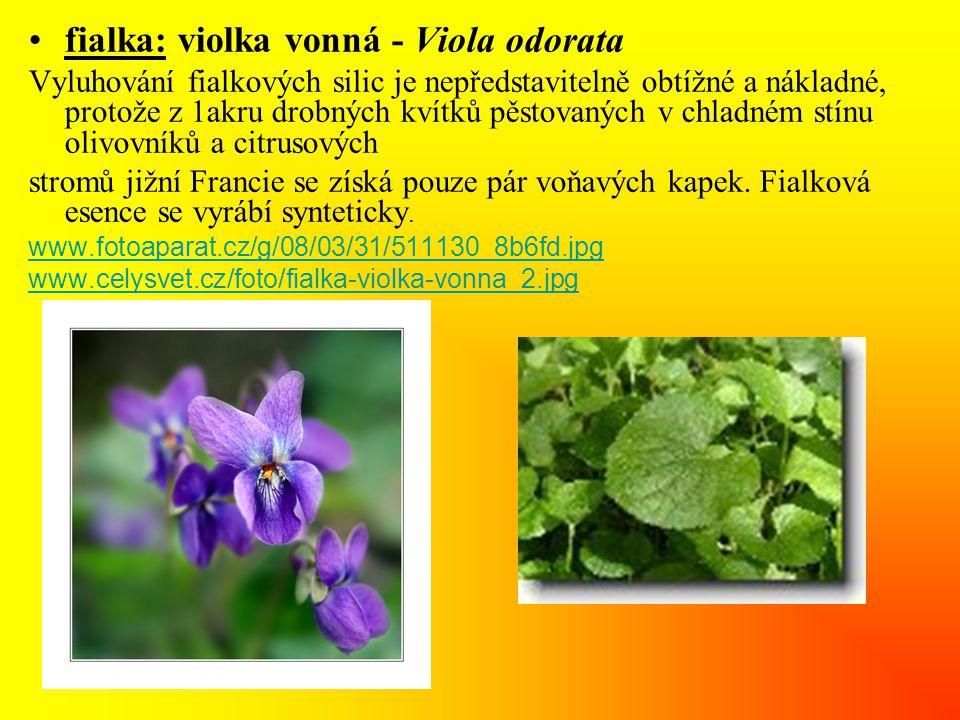 fialka: violka vonná - Viola odorata