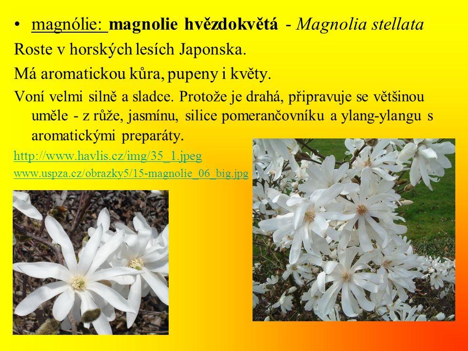 magnólie: magnolie hvězdokvětá - Magnolia stellata
