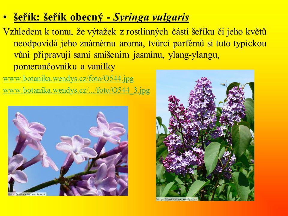 šeřík: šeřík obecný - Syringa vulgaris