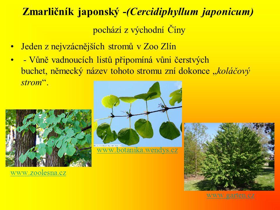 Zmarličník japonský -(Cercidiphyllum japonicum) pochází z východní Číny