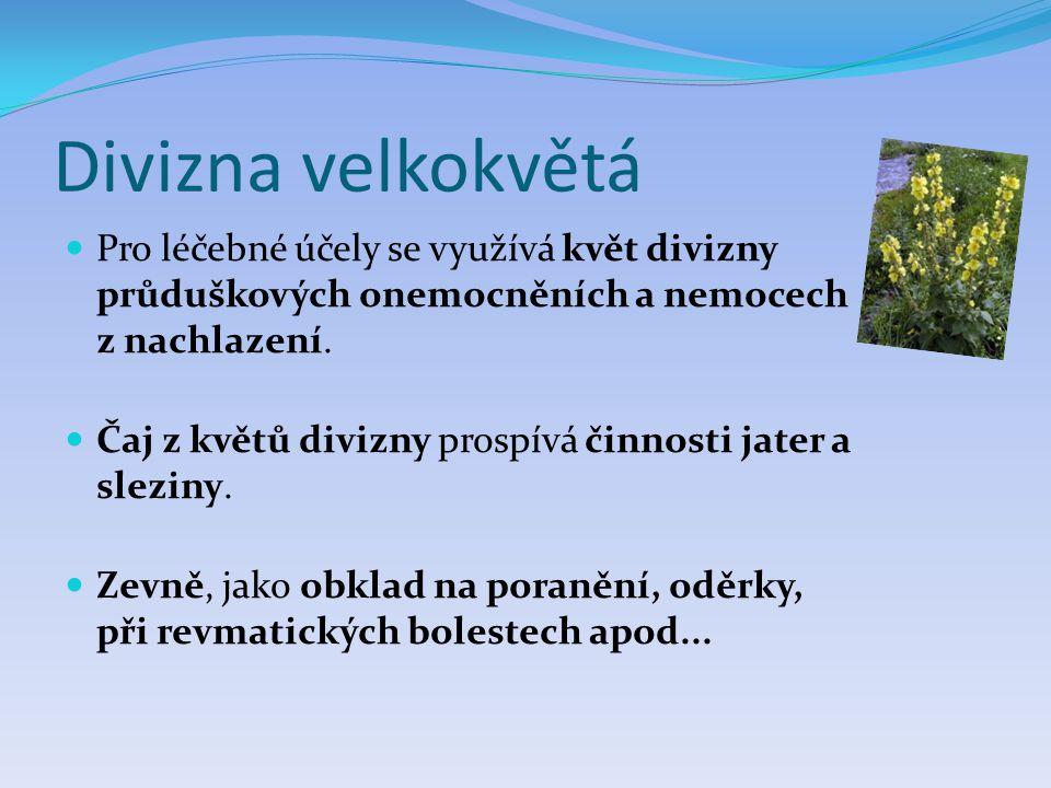 Divizna velkokvětá Pro léčebné účely se využívá květ divizny průduškových onemocněních a nemocech z nachlazení.