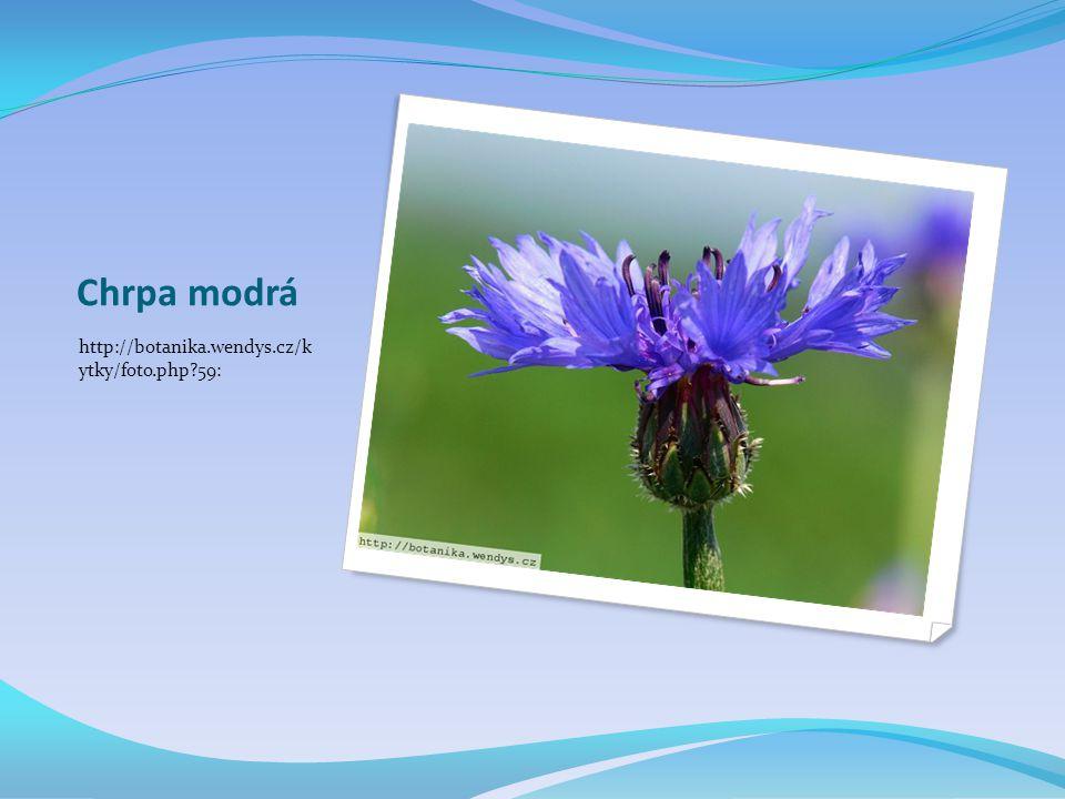 Chrpa modrá http://botanika.wendys.cz/k ytky/foto.php 59: