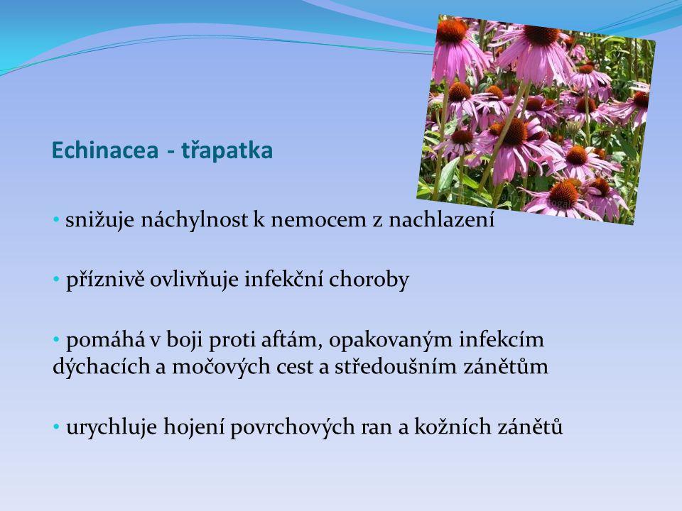 Echinacea - třapatka snižuje náchylnost k nemocem z nachlazení