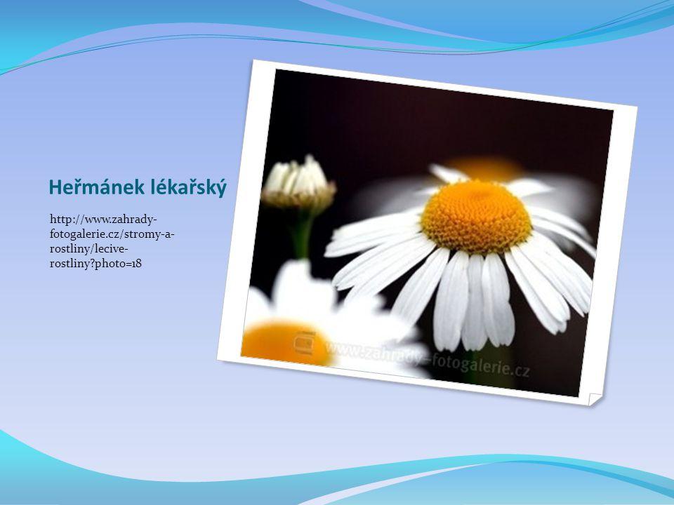Heřmánek lékařský http://www.zahrady- fotogalerie.cz/stromy-a- rostliny/lecive- rostliny photo=18