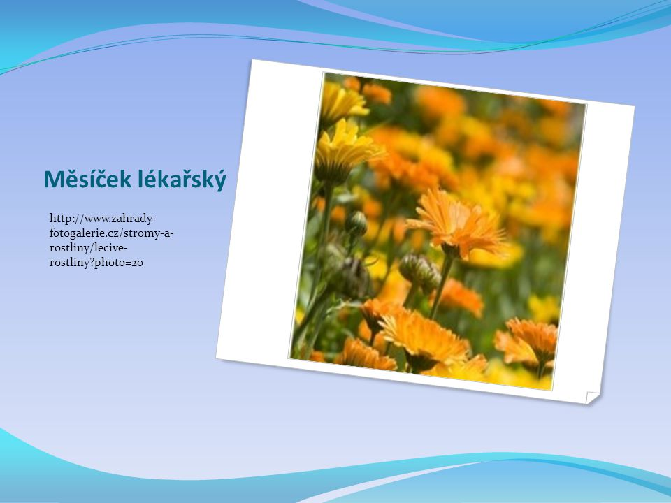 Měsíček lékařský http://www.zahrady- fotogalerie.cz/stromy-a- rostliny/lecive- rostliny photo=20