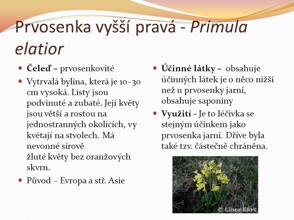 Prvosenka vyšší pravá - Primula elatior