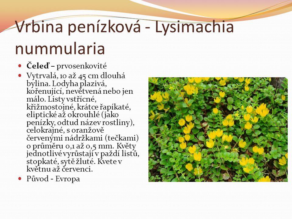 Vrbina penízková - Lysimachia nummularia