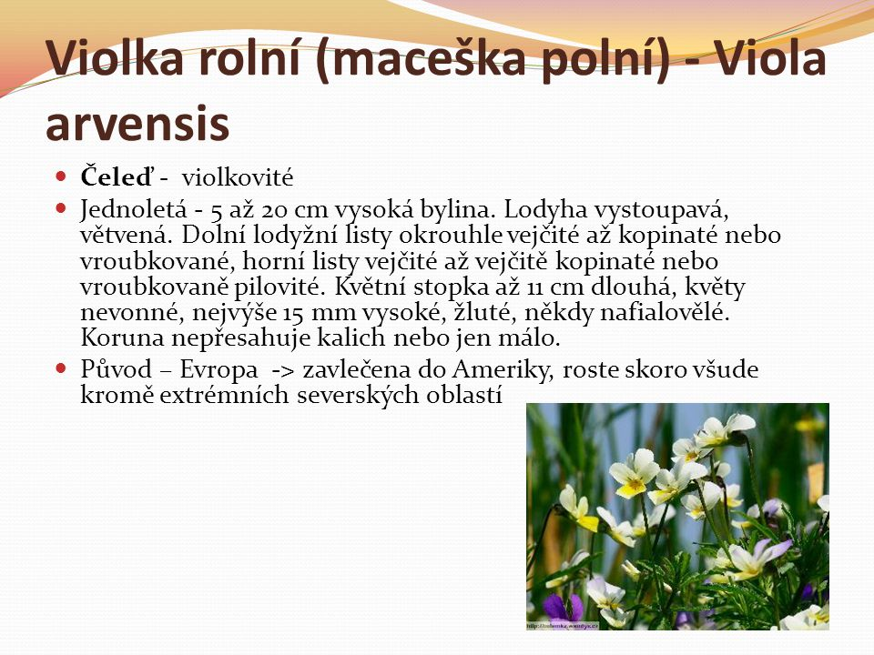 Violka rolní (maceška polní) - Viola arvensis