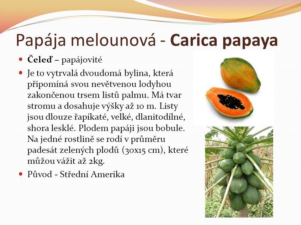 Papája melounová - Carica papaya