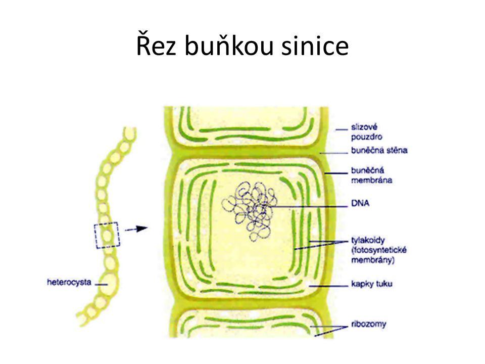 Řez buňkou sinice