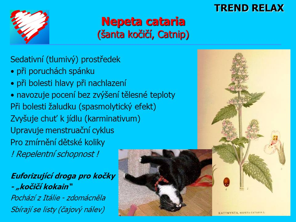 Nepeta cataria (šanta kočičí, Catnip)
