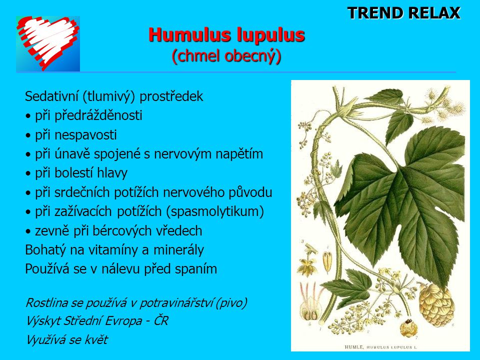 Humulus lupulus (chmel obecný)