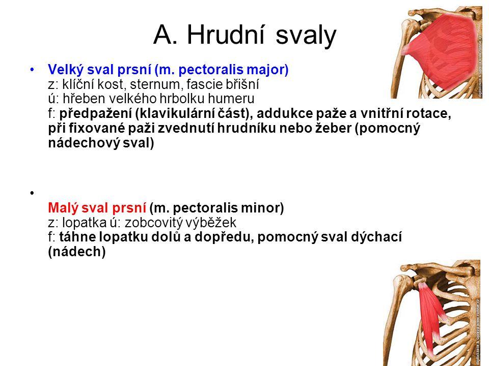 A. Hrudní svaly