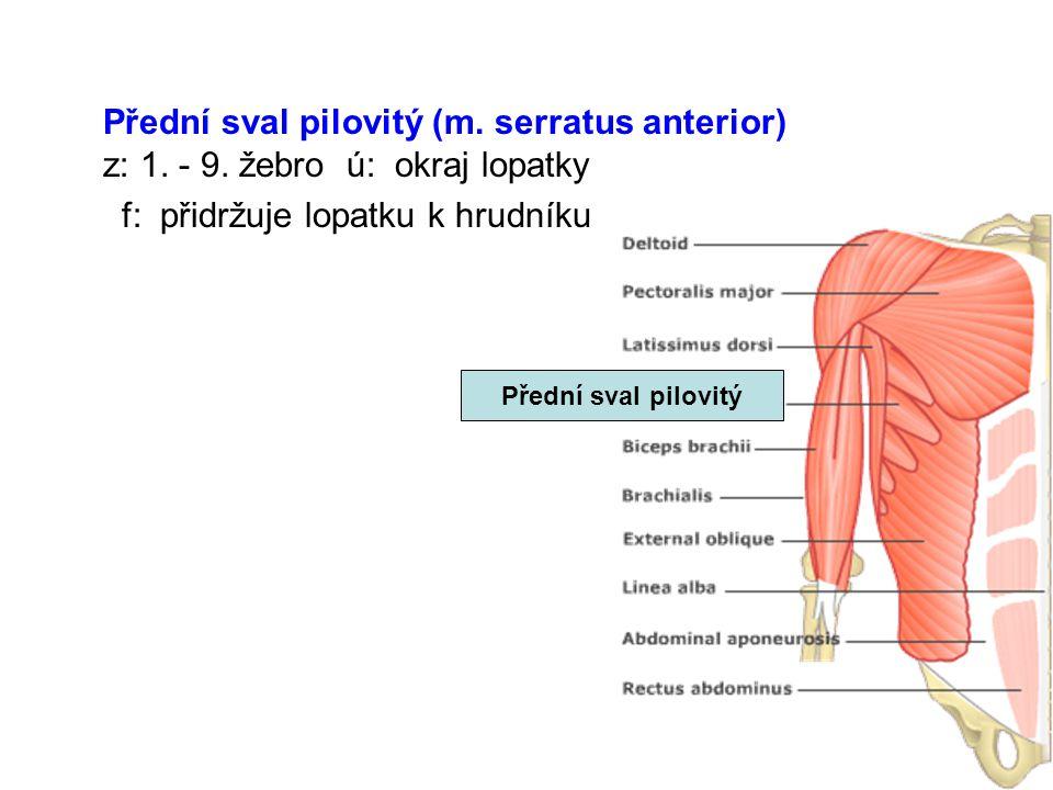 Přední sval pilovitý (m. serratus anterior) z: 1. - 9