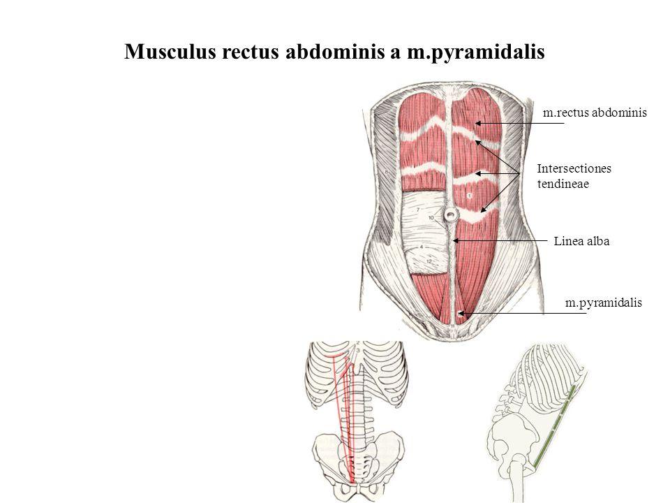 Musculus rectus abdominis a m.pyramidalis
