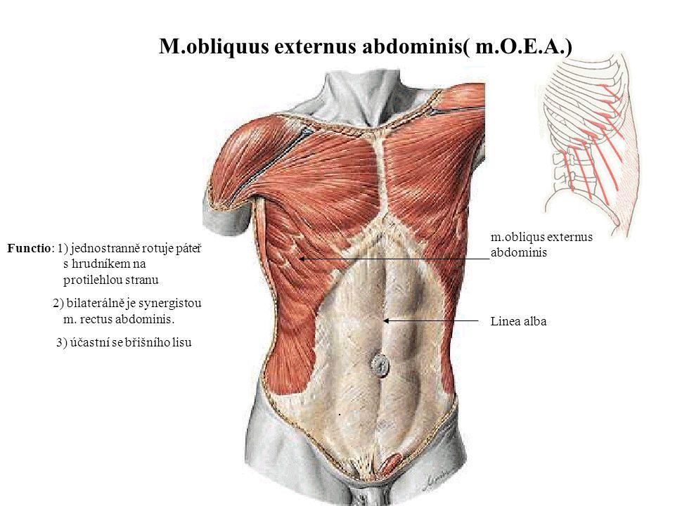 Berühmt Obliquus Externus Funktion Fotos - Menschliche Anatomie ...