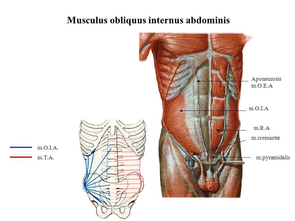 Musculus obliquus internus abdominis