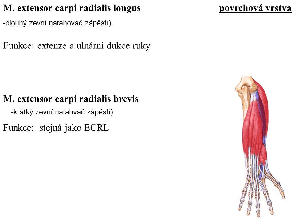 M. extensor carpi radialis longus povrchová vrstva