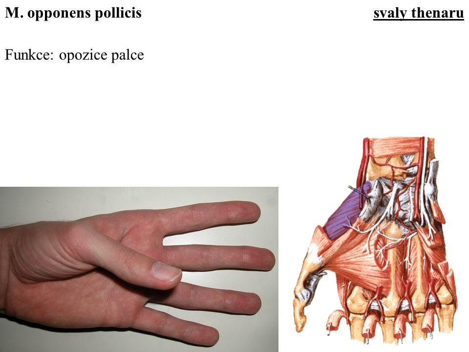 M. opponens pollicis svaly thenaru Funkce: opozice palce