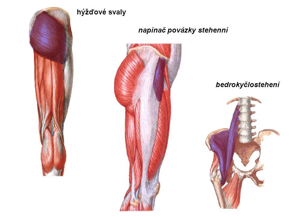hýžďové svaly napínač povázky stehenní bedrokyčlostehení