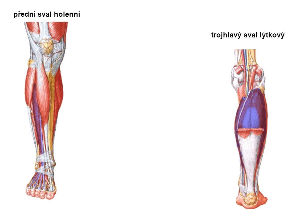přední sval holenní trojhlavý sval lýtkový