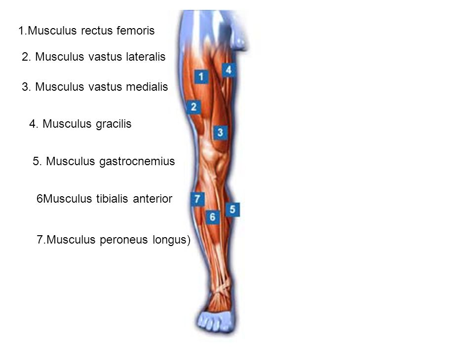 1.Musculus rectus femoris