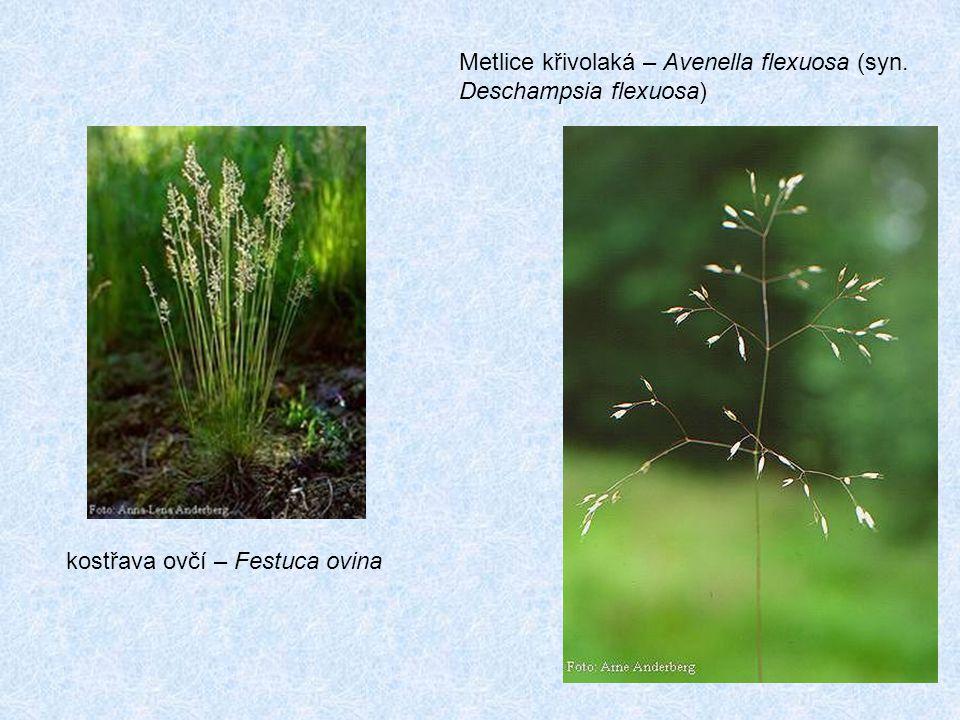Metlice křivolaká – Avenella flexuosa (syn. Deschampsia flexuosa)