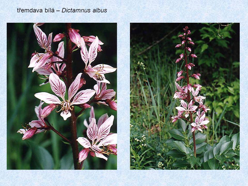 třemdava bílá – Dictamnus albus