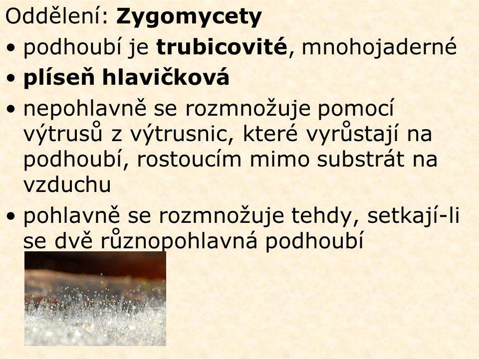 Oddělení: Zygomycety podhoubí je trubicovité, mnohojaderné. plíseň hlavičková.