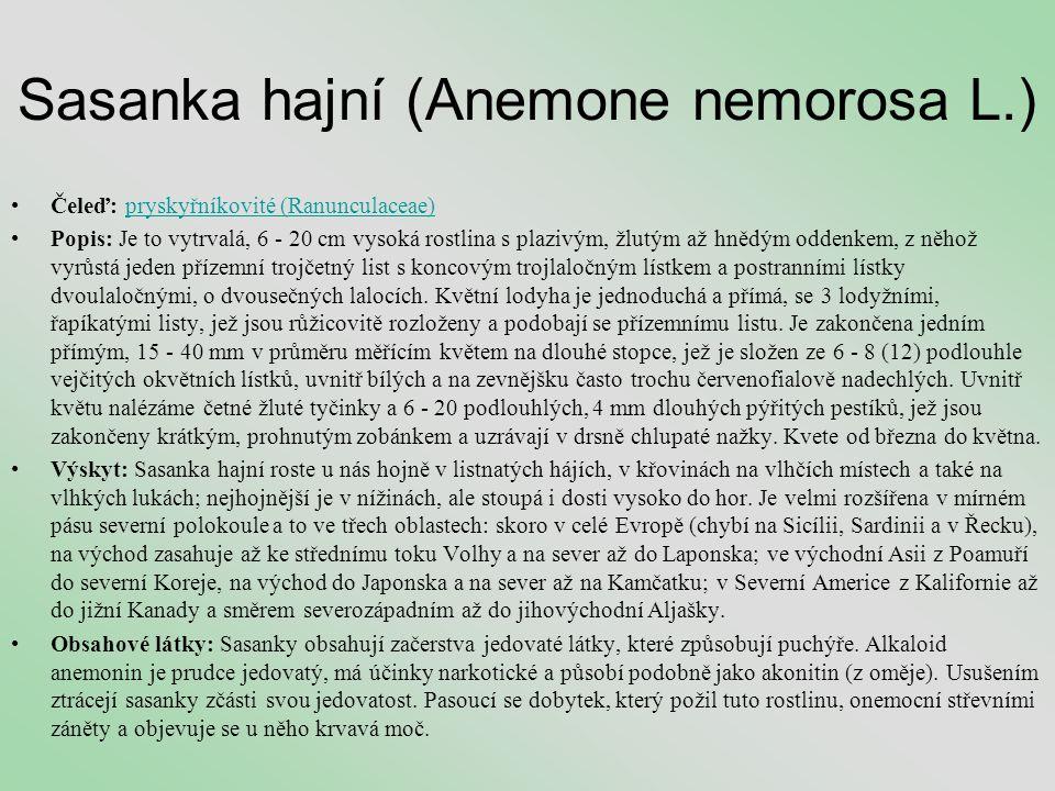 Sasanka hajní (Anemone nemorosa L.)