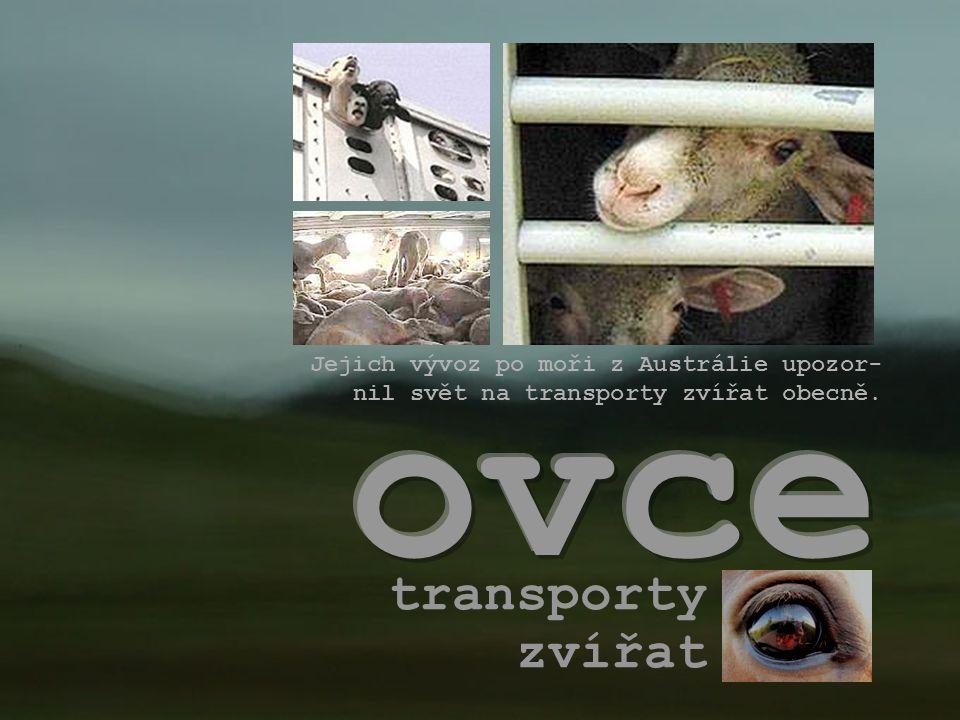 ovce transporty zvířat