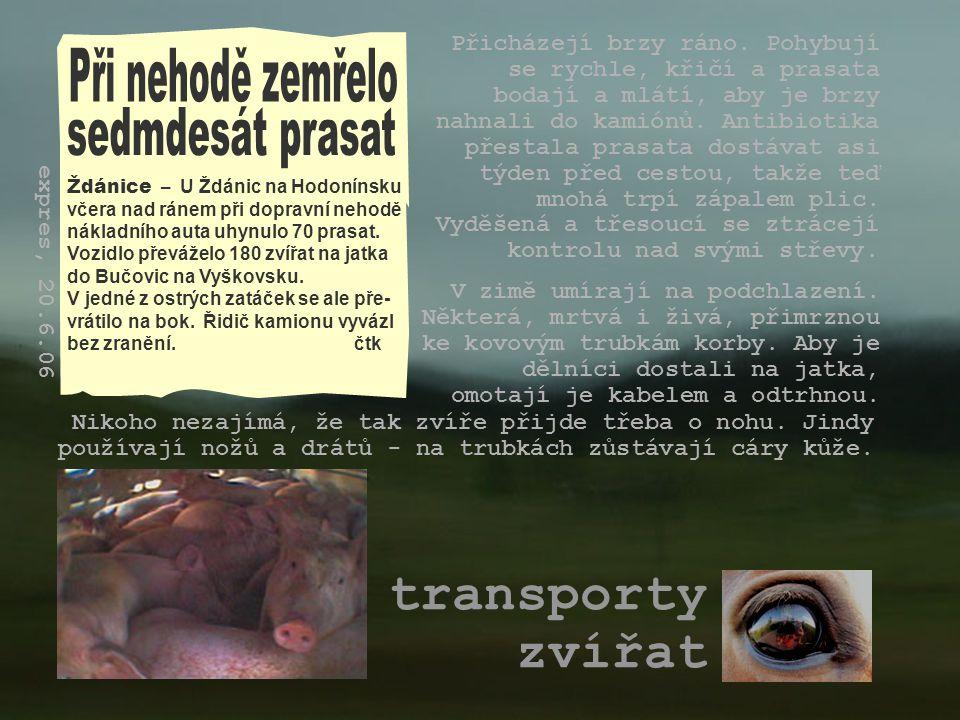 transporty zvířat Při nehodě zemřelo sedmdesát prasat