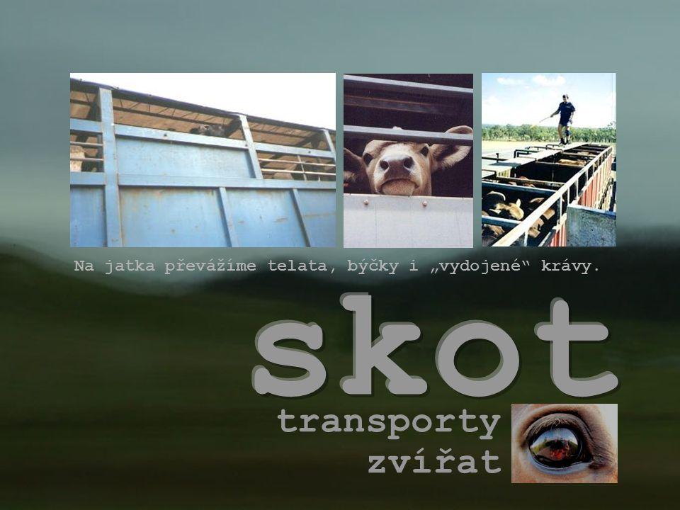 skot transporty zvířat