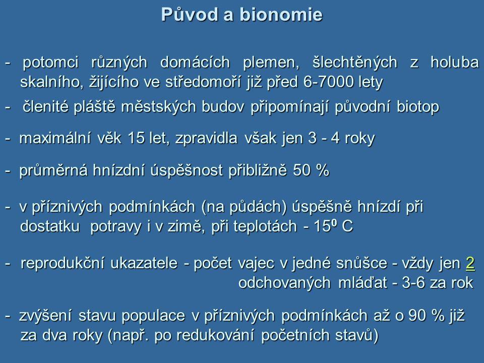 Původ a bionomie - potomci různých domácích plemen, šlechtěných z holuba skalního, žijícího ve středomoří již před 6-7000 lety.