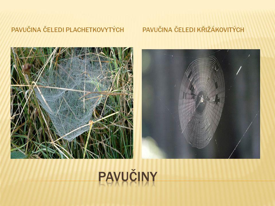 Pavučina čeledi plachetkovytých