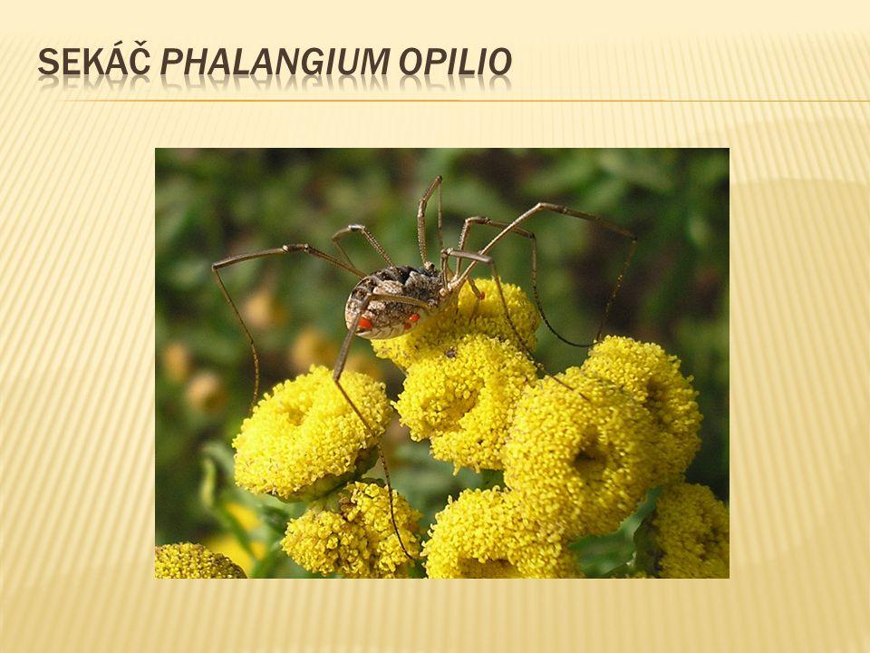 sekáč Phalangium opilio